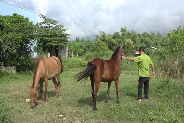 """Tiền Giang: Cả làng này nuôi ngựa, cha truyền con nối theo nghề """"Bật Mã Ôn"""", ai đến xem cũng bất ngờ"""