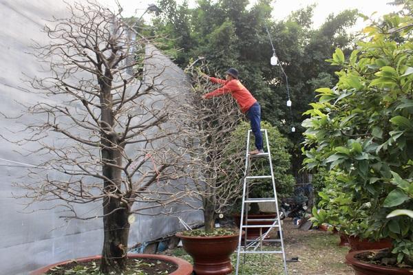 Những cây mai khủng ở TP Thủ Đức: Bắc thang cao 5m lặt lá mai, 3 người lặt cả buổi sáng mới hết 1 cây