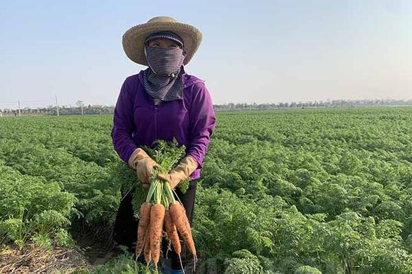 Xã nào của tỉnh Hải Dương trồng cà rốt nhiều nhất, được mùa trúng giá chưa từng thấy nhưng dân đang lo điều gì nhất?