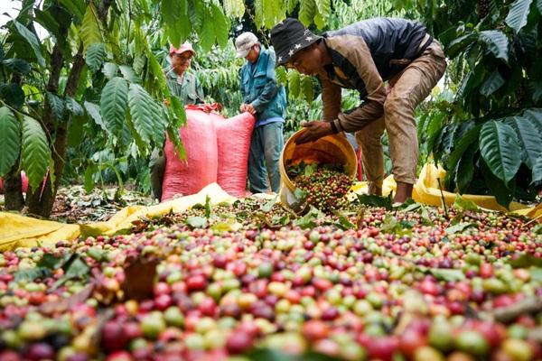 """Vì sao giá cà phê đột ngột tăng mạnh, lượng giao dịch """"khủng"""", giá tiêu cao nhất ở đâu?"""