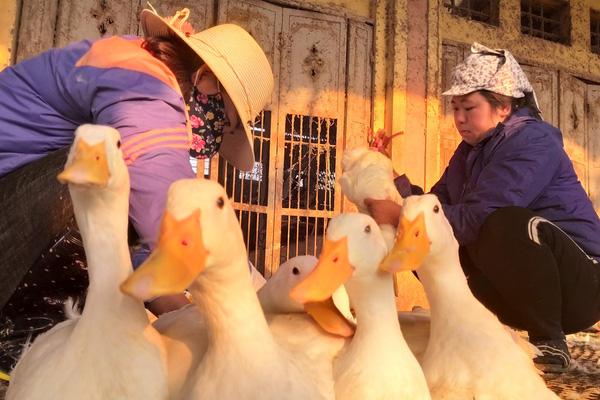 Giá gia cầm hôm nay 24/2: Giá các loại gà, vịt thịt mới nhất, người nuôi ba miền thua lỗ triền miên