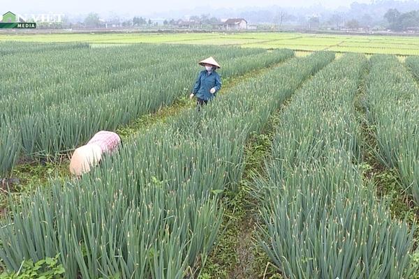 Video: Sốt ruột nhìn hơn 30 tấn hành lá ở Phú Thọ sắp già úa vẫn chưa được thu hoạch vì Covid-19