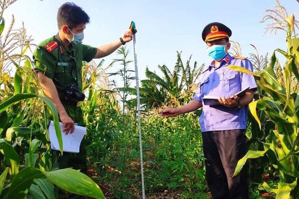 """Phát hiện 230 cây cần sa trong rẫy, """"ông chủ"""" khai trồng làm... thức ăn gia súc!"""