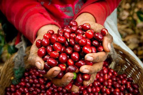 Giá cà phê tăng 4 ngày liên tục, giới đầu cơ làm gì với dòng tiền?