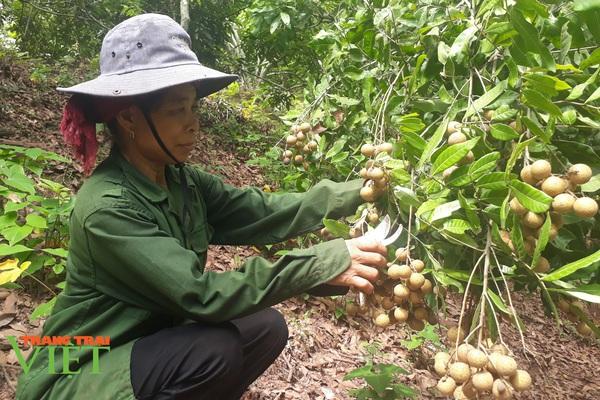 Lợi ích thiết thực từ các mô hình khuyến nông ở Yên Châu