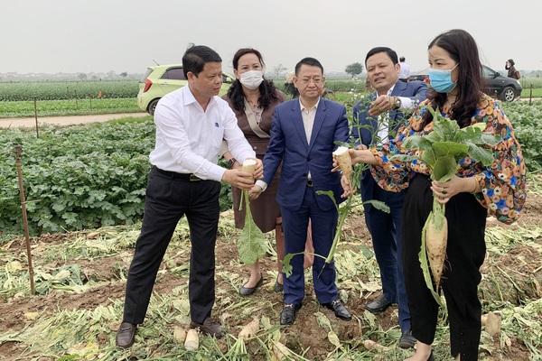 """Hà Nội: Nông dân Mê Linh than rau rẻ như cho, ngành chức năng nói không phải """"giải cứu"""", mong kết nối tiêu thụ"""