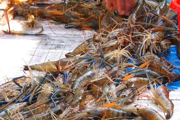 Kiên Giang: Bắt hàng tấn tôm càng xanh nuôi xen canh ruộng lúa, bất ngờ là bán tôm giá cao, nông dân trúng đậm