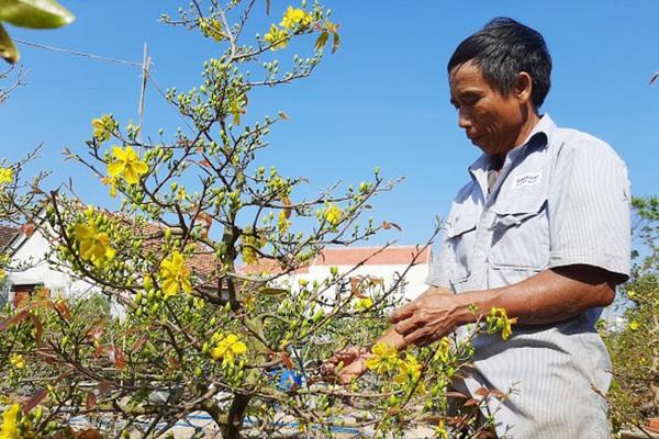 """Phú Yên: Sau Tết, nông dân """"xử lý"""" thế nào với hàng trăm cây mai vàng """"bán ế""""?"""