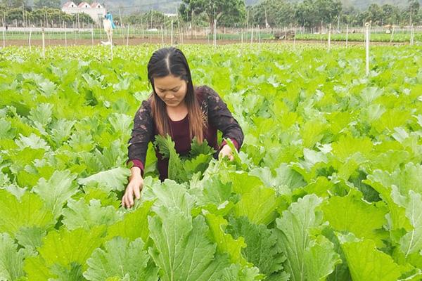 Nơi đây nông dân thu nhập cao nhờ trồng rau màu