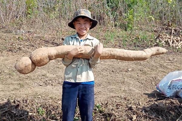 """Sơn La: Đi lên nương sắn, một ông nông dân bất ngờ """"đào bắt"""" được củ gì khủng, to dài như con trăn?"""