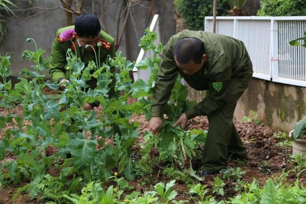 Phát hiện hàng chục vụ trồng cần sa, anh túc trong vườn nhà: Chính quyền cơ sở không thể ngoài cuộc