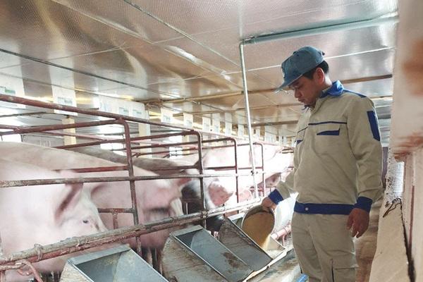 """Bắc Giang: Nuôi lợn lạ quá, không cần tắm rửa, thăm lợn qua màn hình mà lợn đẻ """"1 vốn, 4 lời"""""""