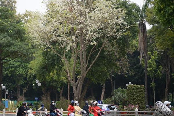 """Ngắm hoa sưa """"phủ trắng"""" phố phường Hà Nội"""