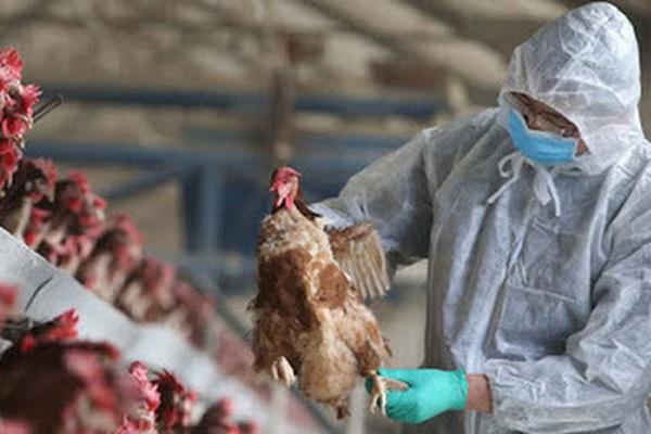 Cúm A H5N8 lây từ gà sang người nguy hiểm như thế nào mà cả WHO và FAO phải cảnh báo Việt Nam?