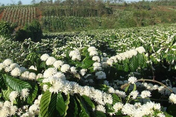 Tháng 3, bạt ngàn sắc trắng tinh khôi hoa cà phê tại đại ngàn Tây Nguyên