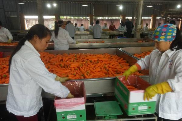 Ông chủ thu mua cà rốt nhiều nhất Cẩm Giàng: Khách Hàn, Nhật thích ăn cà rốt Hải Dương, tiếc là…