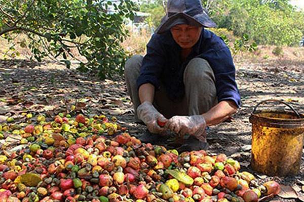 Bình Thuận: Đã gần hết tháng Giêng, vì sao các chủ vườn trồng cây ra thứ trái có hạt lộn ra ngoài lại kém vui?