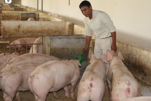 Kể chuyện làng: Dở khóc dở cười chuyện nuôi lợn thời bao cấp