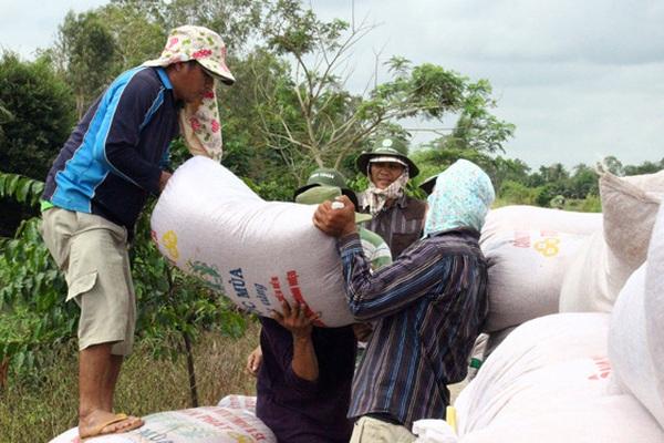 Giá lúa đông xuân cao kỷ lục, nông dân miền Tây thu lời cao