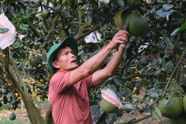 """Lâm Đồng: Ông nông dân """"sáng chế"""" ra thứ thuốc sâu khiến vườn bưởi da xanh ra đầy trái, bất ngờ nhiều người tới xem"""