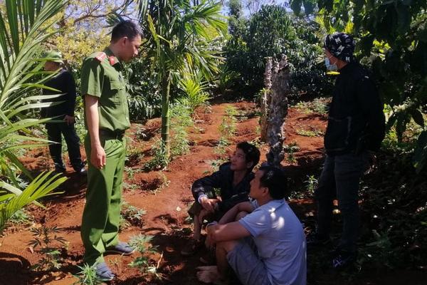 Đắk Lắk: Tạm giữ hình sự hai anh em trồng hơn 1.500 cây cần sa