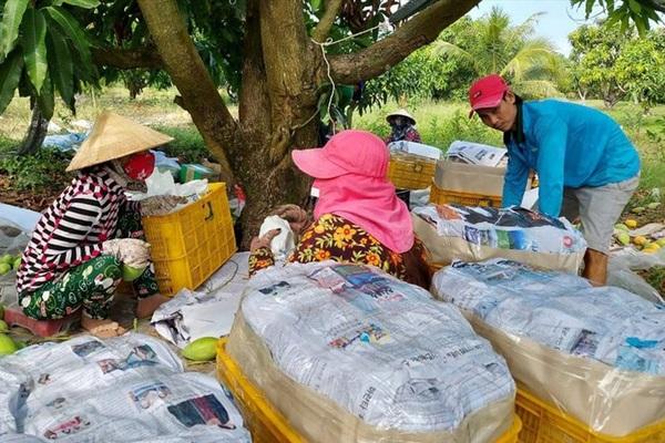 Kiên Giang: Trái xoài đặc sản trồng ở vùng đất này mất giá chưa từng có, nông dân chỉ lo bán tháo