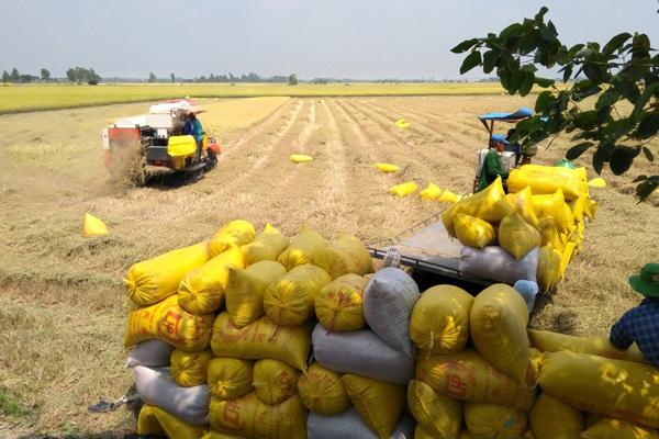Giá lúa gạo hôm nay 9/3: Nông dân rơi mất 1.000 đồng/kg ngay tại ruộng, lý do tại sao?