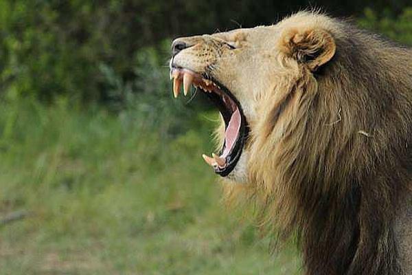 Sư tử ăn thịt người trong vườn quốc gia Nam Phi