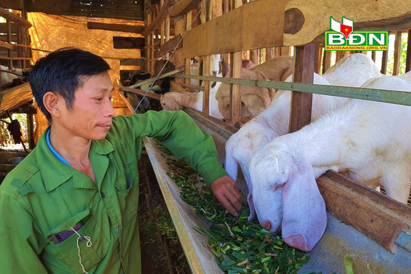 Đắk Nông: Nuôi loài thú tai dài quá mỏm, chỉ ăn rau, ăn lá, uống nước lã mà nông dân khá giả hẳn lên