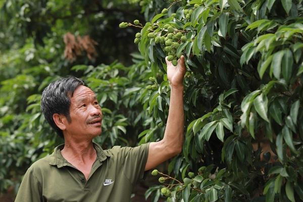 Bắc Giang: Vải thiều vừa bằng đầu đũa, 167 thương nhân Trung Quốc đã đăng ký đến thu mua
