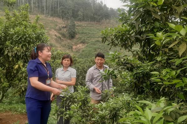 Yên Bái: Trồng lung tung đủ loại cây, nông dân nơi này thu nhập vài trăm triệu mỗi năm