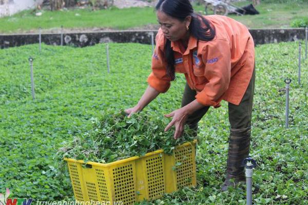 Nghệ An: Trồng rau má dại tưởng làm đại khái cho vui, bất ngờ nông dân này kiếm bộn tiền