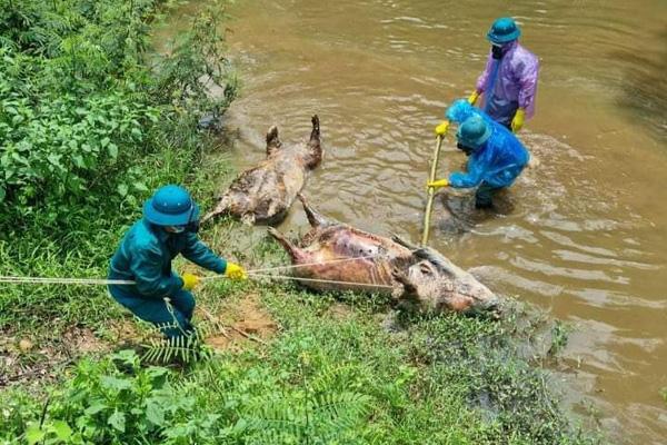 Công an vào cuộc điều tra vụ nhiều lợn chết nổi dọc khe nước