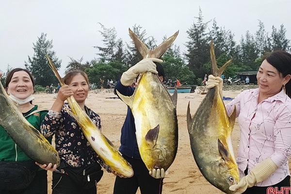 Hà Tĩnh: Ra biển bắt ngay được đàn cá chim vàng hơn 2 tấn, con nào cũng to bự, dân vui như trúng số