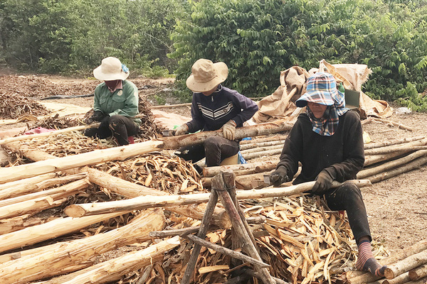 """Gia Lai: Cám cảnh vỏ cây """"giảm nghèo"""" giảm mạnh, nguyên nhân Trung Quốc, Ấn Độ cũng trồng được?"""