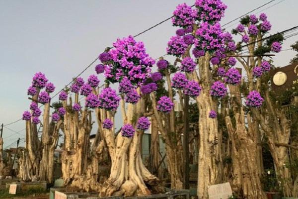 Thủ đoạn hô biến rừng cây cổ thụ (Bài 4): Thú chơi cây cổ thụ đang tàn phá rừng như thế nào?