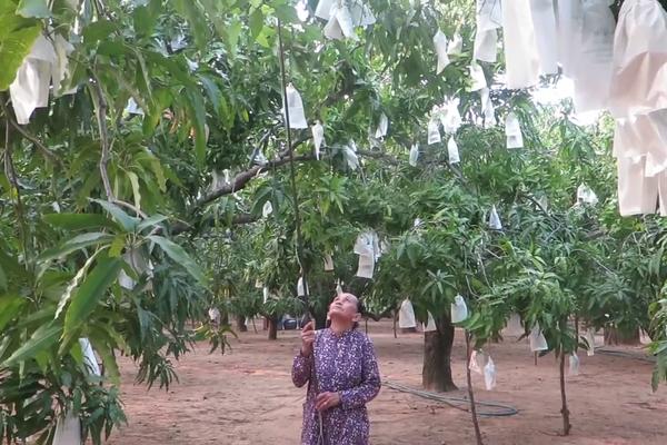 """Dân miền biển ở TP Hồ Chí Minh """"sống khỏe re"""" nhờ trồng loại cây ra trái ăn chua chua, ngọt ngọt, thơm lừng"""
