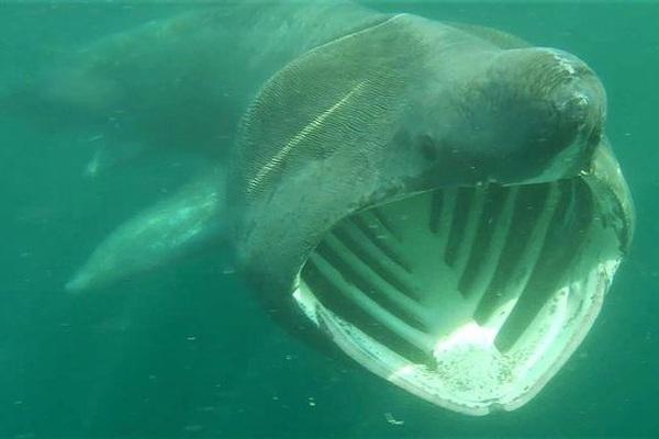 Các bãi biển ở Anh phải đối mặt với sự xâm lược kinh hoàng của cá mập