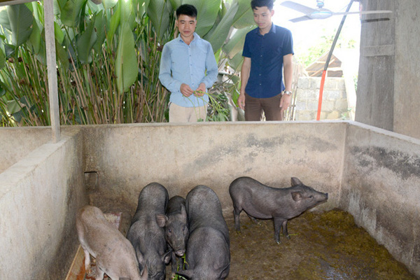 """Nuôi những con lợn đen xì, tên nghe """"mắc cười"""" nhưng thịt ngon, nông dân toàn bán giá 100.000 - 150.000 đồng/kg"""