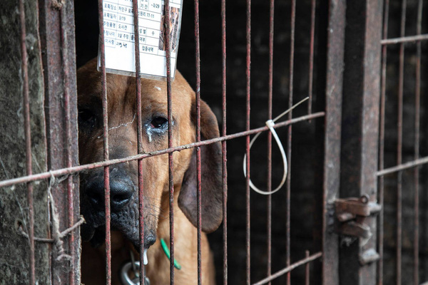 Hình ảnh gây sốc trong hành trình giải cứu những chú chó khỏi lò mổ