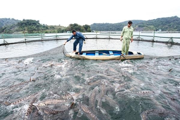 Sơn La: Nuôi thủy sản trên lòng hồ thủy điện, nhiều nông dân thành tỷ phú