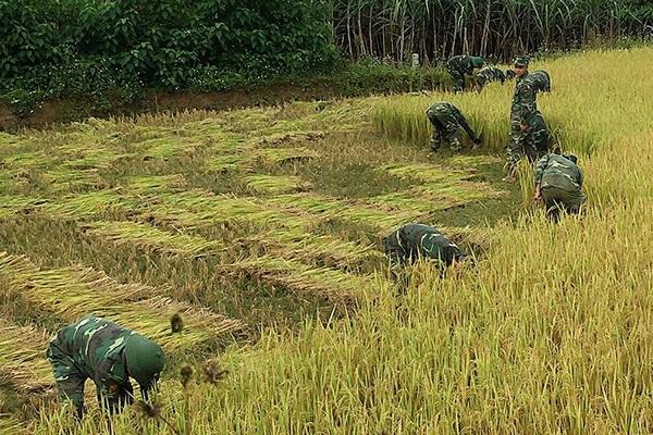 Nông thôn Tây Bắc: Cán bộ, chiến sỹ Đồn Biên phòng Phiêng Pằn gặt lúa giúp dân chạy bão