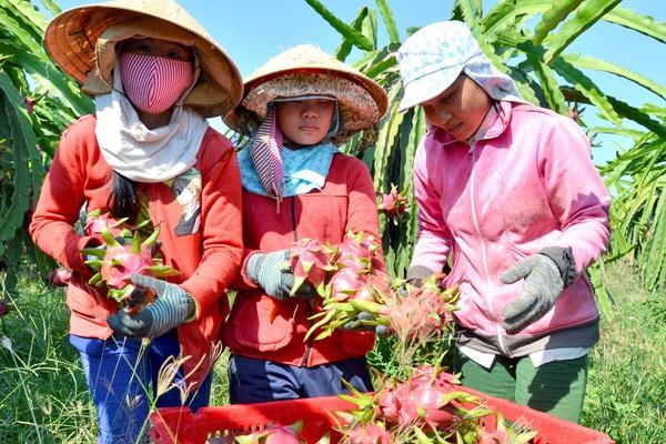 """Sau vải thiều, Việt Nam có thêm 1 loại trái cây được cấp """"giấy thông hành"""" vào Nhật Bản"""
