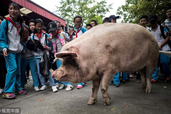 Chuyện xúc động về chú lợn nổi tiếng nhất Trung Quốc
