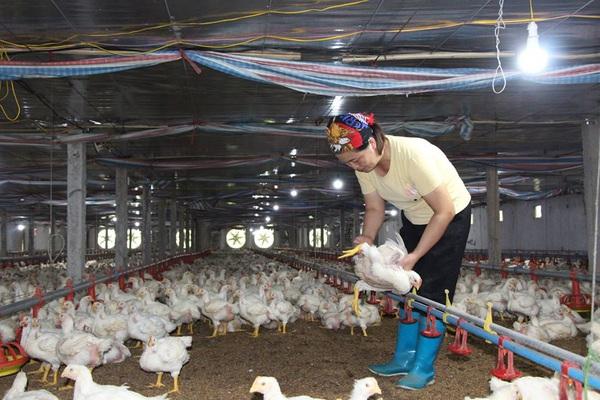 Giá gia cầm hôm nay 15/5: Giá vịt thịt ba miền rớt giá từng ngày, gà công nghiệp ảm đạm