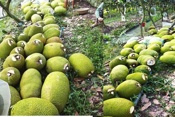 Giá mít Thái hôm nay 15/5: Bán mít Kem tại vườn rẻ mạt chưa từng thấy, nông dân trồng mít lỗ nặng