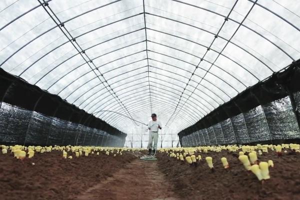 Mục sở thị trang trại trồng và thu hoạch nấm Linh chi đỏ tại Nhật Bản