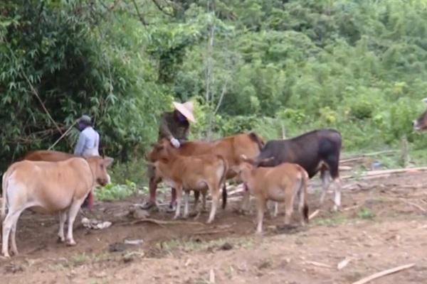 Lai Châu: Ngăn chặn bệnh viêm da nổi cục trên trâu bò