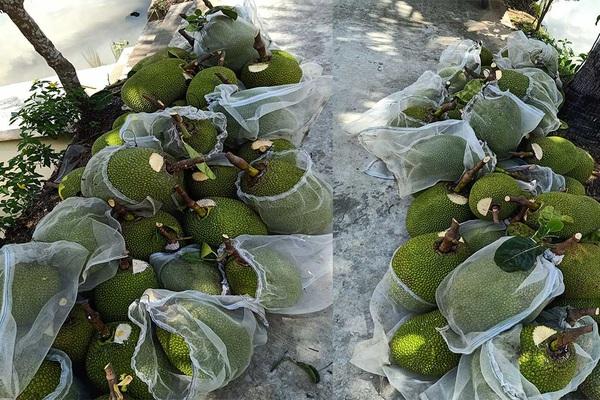Giá mít Thái hôm nay 18/5: Mít Thái loại Nhất mất mốc 10.000 đồng/kg, chủ vựa mít nói gì?