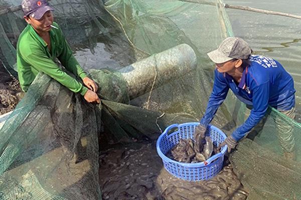 Hậu Giang: Nuôi dày đặc thứ cá này, bắt bán lên nông dân thua lỗ nặng